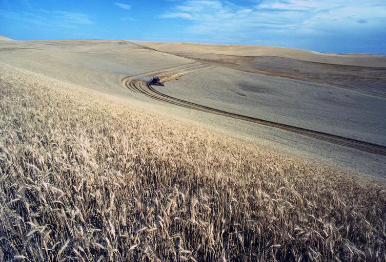 Un zvon coboară piața grâului; prețurile au coborât de la 242 EUR/tonă acum 3-4 zile, la un neverosimil 224 EUR/tonă; stiri agricole