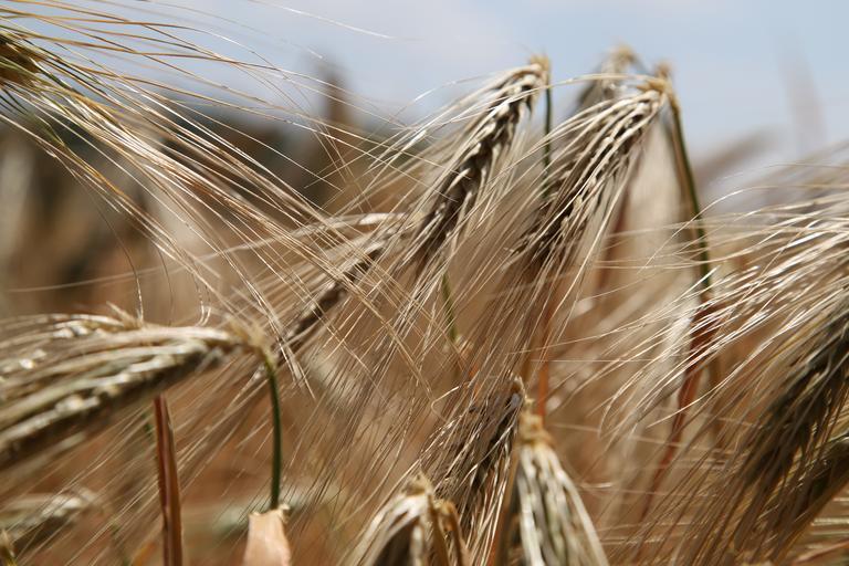Simptome produse de organismele dăunătoare la cereale păioase; ciuperci, bacterii, virusuri și organisme analoage; insecte, acarieni, nematozi