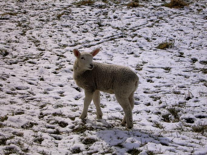 Oferiți mieilor cel mai bun început prin alimentarea corectă a oilor; Ce se întâmplă în ultimele 6 săptămâni de sarcină; subventii APIA