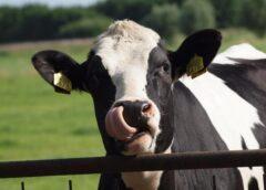 Ajutorul național tranzitoriu în cazul bovinelor pare foarte mic; Împreună cu asociațiile am decis cum anume să împărțim acești bani; stiri agricole