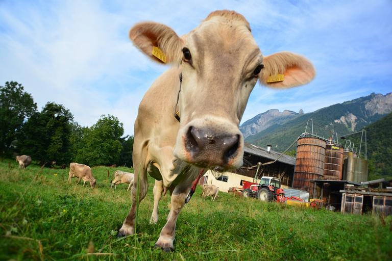 122 de ferme mari de vaci împotriva celor mici și mijlocii;prin eliminarea pragului de 250 de capete, se reduce valoarea subvențiilor pe cap de animal;