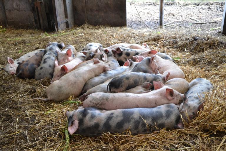 România suferă de invazia porcilor vii din Ungaria. Schimbări pe piața cărnii de porc în ultimele luni. numărului de porci europeni în scădere. Stiri agro