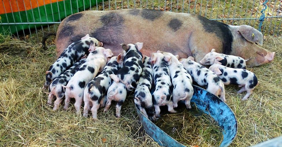 MADR a modificat Ordinul ce limitează numărul de porci crescuți in gospodărie. Noile reglementări vor intra în vigoare la 1 septembrie 2021. Stiri agricole
