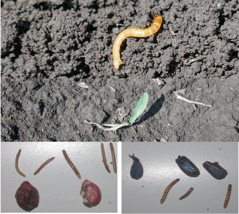 Cercetari privind combaterea Agriotes spp. se desfasoara la SCDA Albota (Trasca Georgeta si colab.) sau SCDA Secuieni (Trotus Elena si colab.). vierme sarma