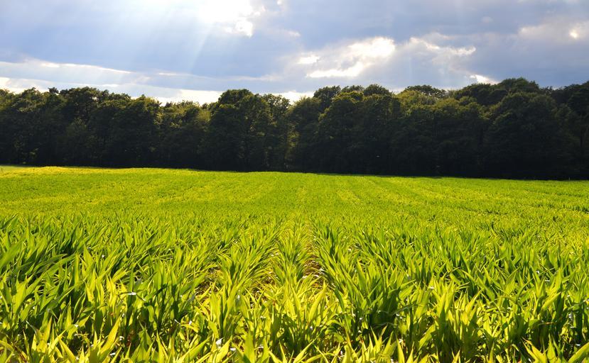 Cum se aplică zincul în România? La porumb, zincul trebuie aplicat preventiv la sol în zonele unde s-a manifestat carență în anii trecuți. Stiri agricole