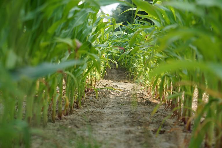 Produce cine are apă sau contează și tehnologia? Optimizări făcute între hibrizi și câteva aspecte tehnologice. Stiri agricole