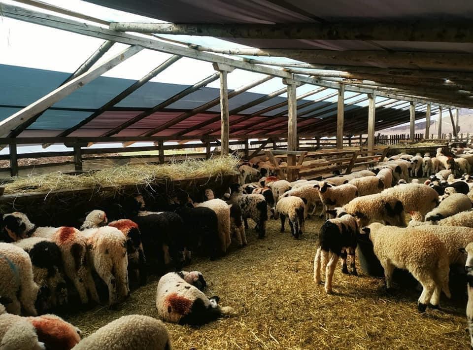 Ciobanii din Bistrița au livrat deja 20.000 de miei. Doar în abatoare se sacrifică miei. nu este niciun punct de sacrificare temporară autorizat. Stiri agro