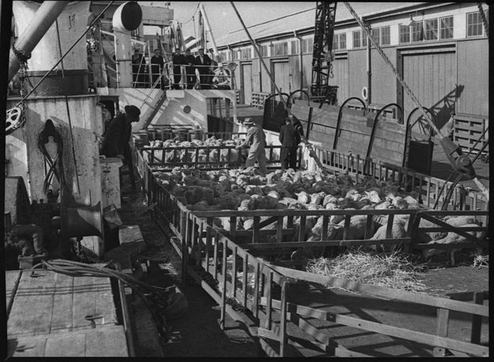 Niciuna dintre navele încărcate în portul Constanța cu animale destinate exportului nu se află în Canalul Suez; ANSVSA; Stiri agricole