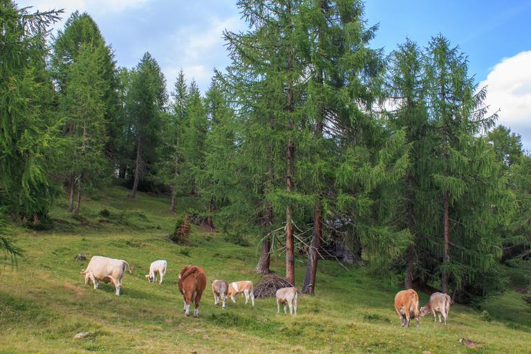 Laptele produs pe pășunile din zonele montane. Valorificarea laptelui produs în fermele de familie cu tradiție în agricultura din zonele montane. Stiri agro