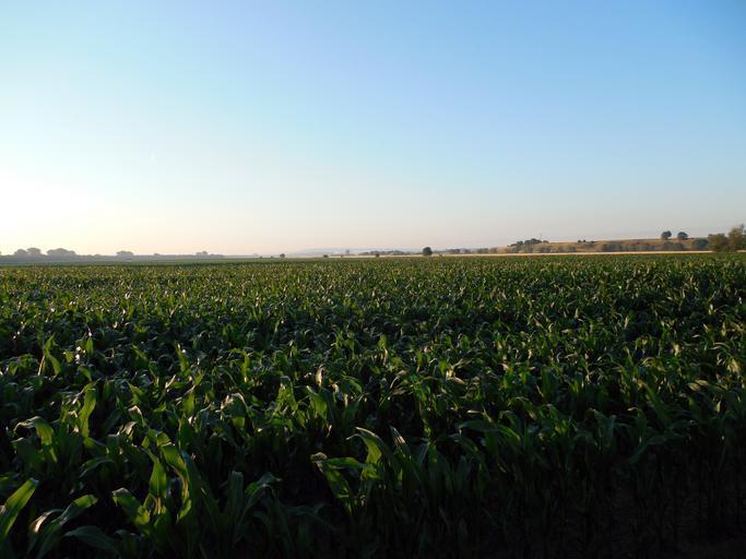 Topul producătorilor de porumb din UE; România – 4,17 to/ha; Franța – 8,01 to/ha; Ungaria – 8,6 to/ha; Italia – 11,27 to/ha; Stiri agricole