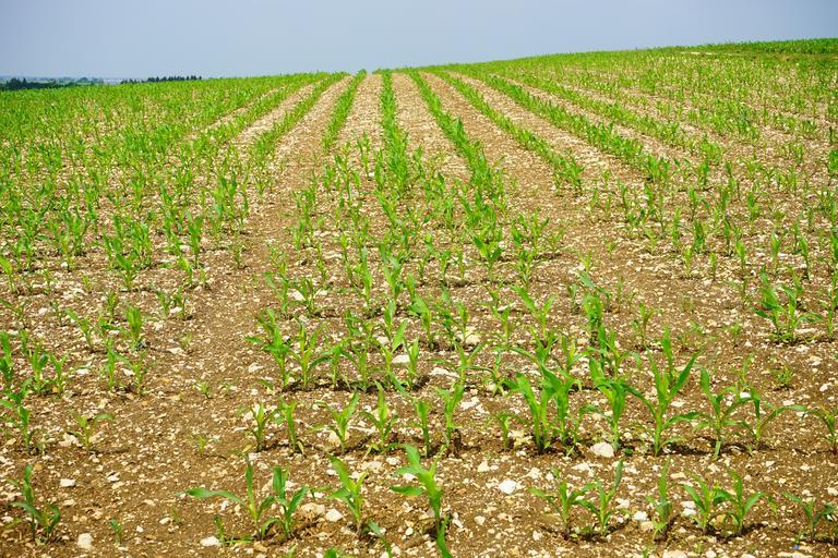 Rezerva de umiditate la grâu şi porumb în limite satisfăcătoare. Starea de vegetaţie a culturilor agricole. Stiri agricole