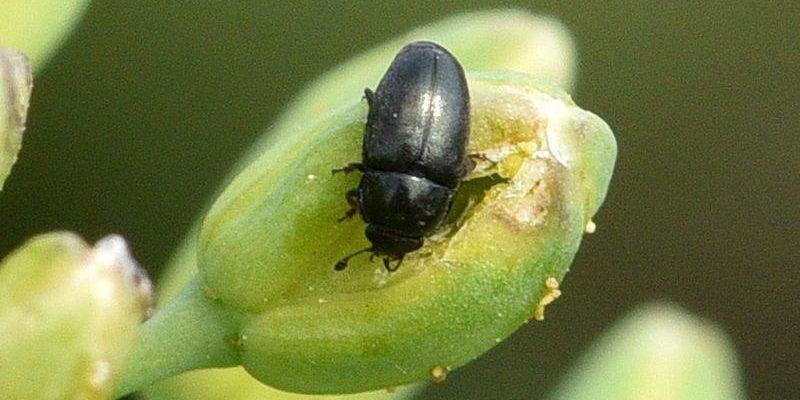 Monitorizarea și combaterea gândacului lucios al rapiței. Praguri de interventie in functie de starea rapitei si de stadiul acesteia. Stiri agricole