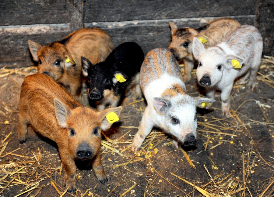 A fost aprobat ajutorul de minimis pentru susţinerea crescătorilor de porci de reproducţie din rasele Bazna Mangaliţa, pentru perioada 2020-2022. Stiri agro