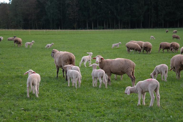 Producției de carne de oaie din UE în scădere. Producția totală de carne de oaie în UE pentru 2020 a totalizat 421.260t. Stiri agricole