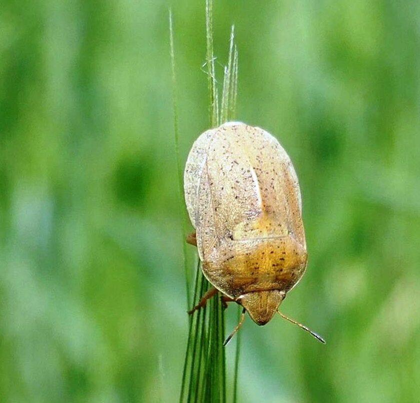 Atentie la plosnitele cerealelor (Eurygaster spp.). Sa supraveghem lanul de grau in lunile iunie si iulie (pana inainte de recoltare). Stiri agricole