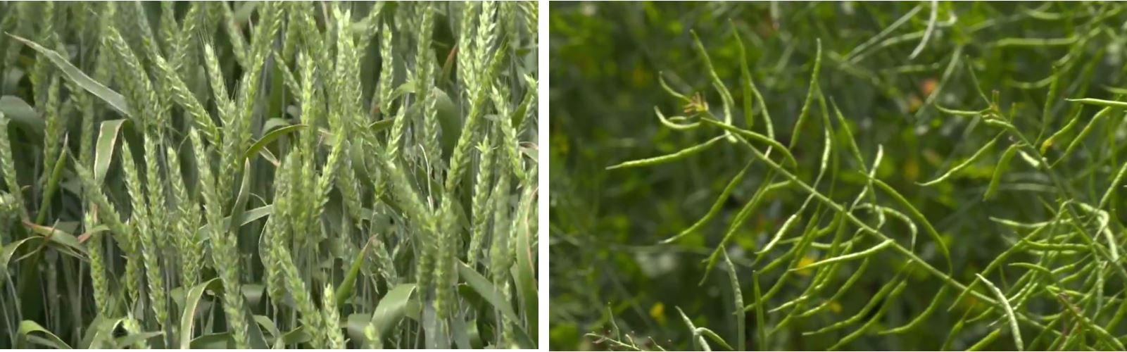 Ce am făcut la rapiță și grâu până astăzi. Rapița a fost semănată pe 31 august. Grâul a fost semănat după rapiță, pe 20 octombrie 2020. Stiri agricole