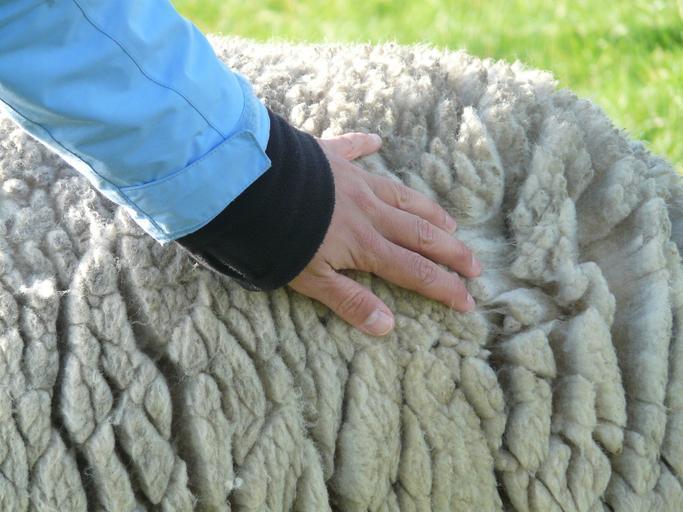 Lâna unei rase de oi ar putea înlocui plasticul. Ce proiect asemănător avea Petre Daea. Lână contra poliester. Stiri agricole