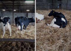 Soia și șrotul de soia! De ce o rație cu mai mult de 1.5 kg incluziune nu este recomandată la vaci
