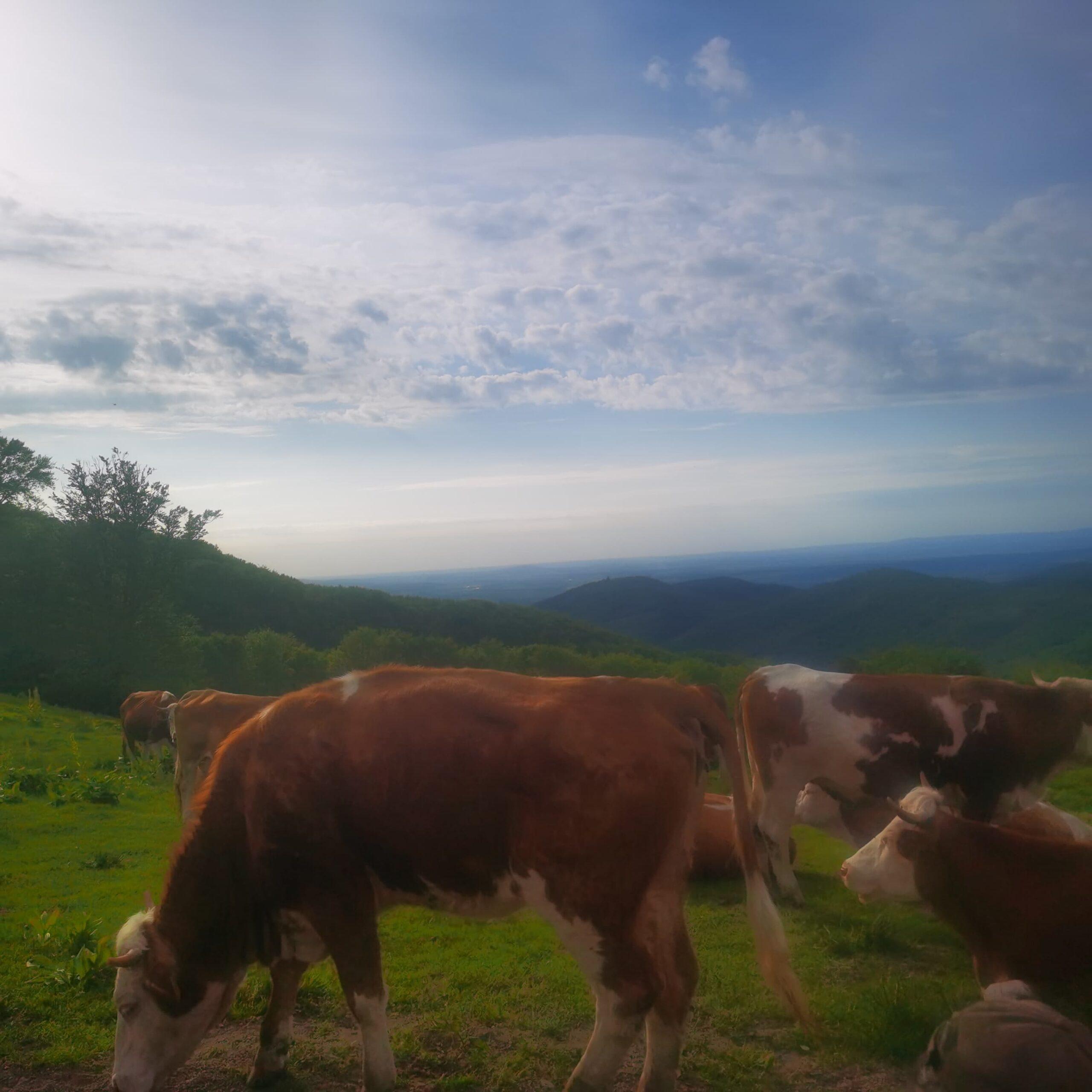 Se schimbă data de referință la ANT bovine? Banii să ajungă doar la cei care chiar cresc animale și doar la cei care cultivă pământul. Stiri agricole