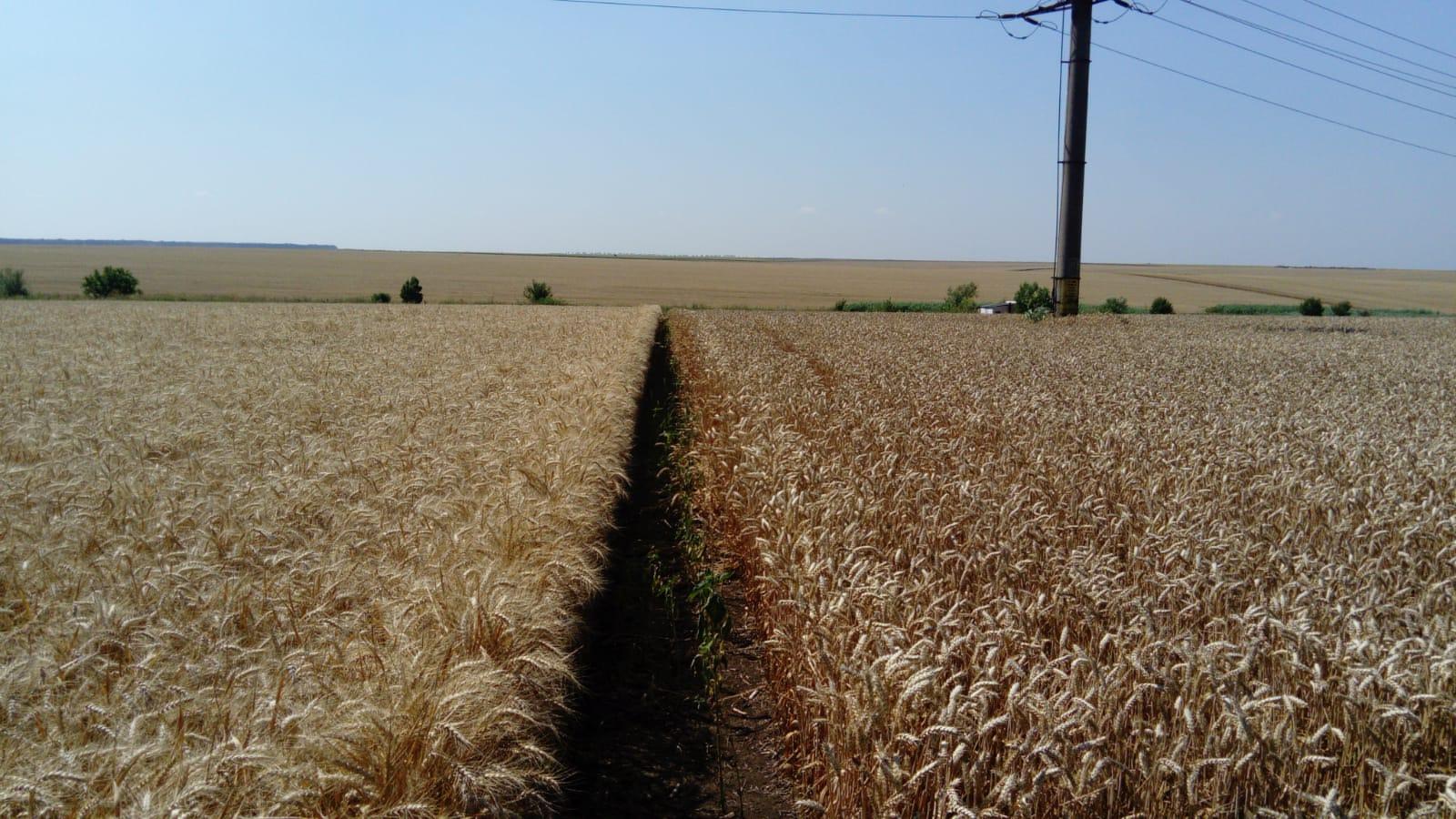 Grâul se apropie de 250 euro/to. prețurile la grâu pe piața futures au crescut cu 10 euro până la puțin sub 250 de euro pe tonă. Stiri agricole