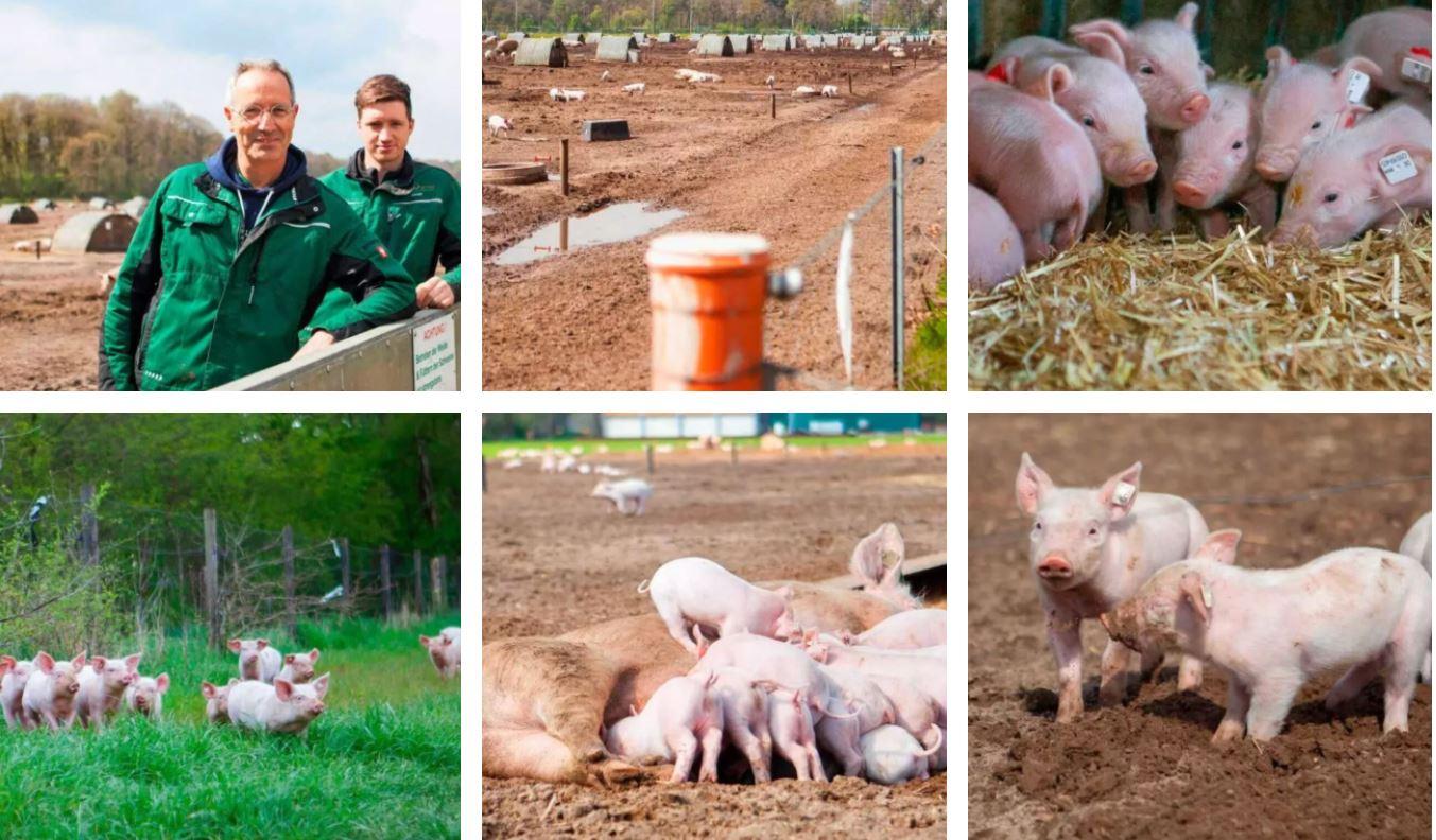 Porci crescuți în aer liber! Fiecare scroafă are o suprafață de aproximativ 400 m², cu câte un adăpost propriu de 1,45 mx 2,80 mp. Stiri agricole