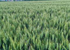 Fermieri, nu vindeți grâul ieftin!