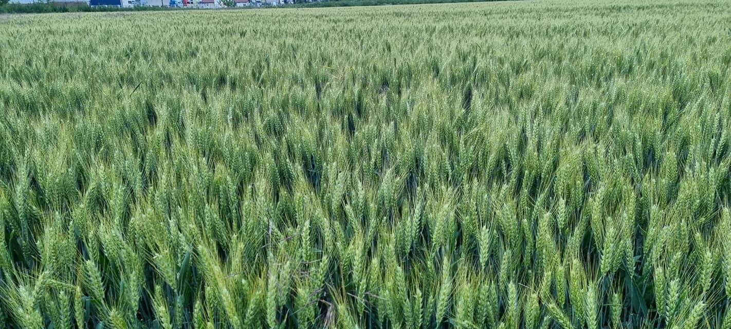 Fermieri, nu vindeți grâul ieftin! Situaţia actuală va continua să epuizeze rezervele globale de porumb şi grâu. Stiri agricole