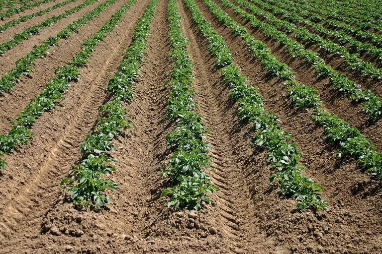 Mai cultivă Brașovul cartofi? În ultimii ani am avut reduceri considerabile ale suprafeţelor cultivate cu cartofi. Stiri agricole
