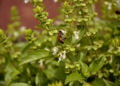 Plantele aromatice beneficiază de o schemă de ajutor de minimis. Valoarea maximă alocată schemei de sprijin este de 1.231,4 mii euro. Stiri agricole