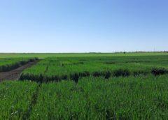 Combaterea buruienilor în toamnă – cea mai eficientă protecție a cerealelor de toamnă