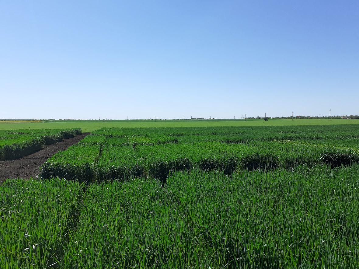 Combaterea buruienilor de toamnă - cea mai eficientă protecție a cerealelor de toamnă. Competiție pentru lumină și spațiu. Stiri agricole