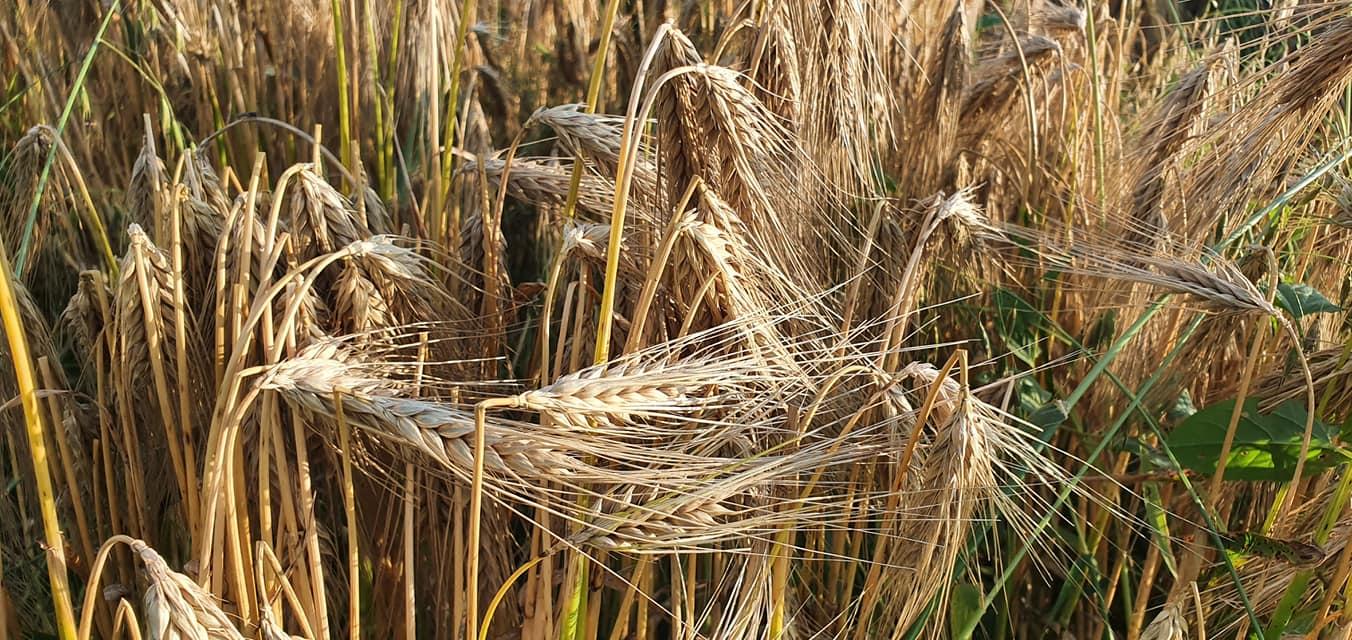 Loterie - De la secetă, la culturi inundate. Agricultorii se confruntă cu o invazie a insectelor şi a dăunătorilor. Stiri agricole
