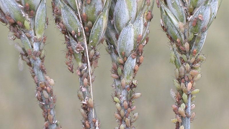 Ce trebuie să știm despre controlul biologic al afidelor? Himenopterele parazitoide sunt printre cele mai eficiente impotriva afidelor. Stiri agricole