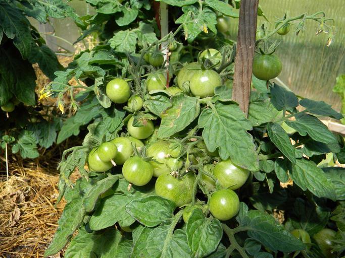 Ajutorul de minimis pentru legumele în spații protejate, amânat pentru toamnă; patru culturi: tomate, castraveți, vinete și ardei; stiri agricole