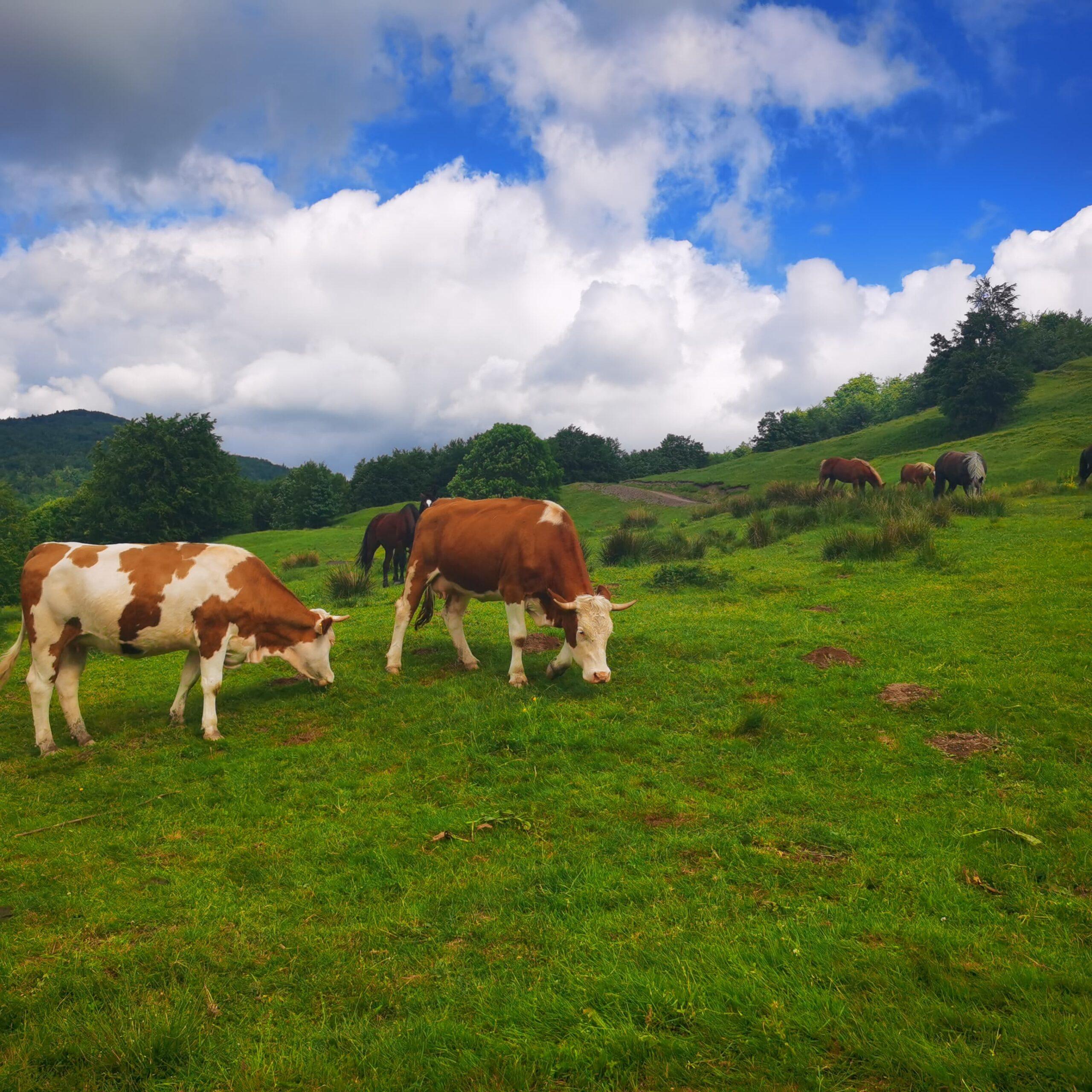 """Prețul laptelui: """"Vorbim de o impunere a preţului şi nu de o negociere"""". Asocierea crescătorilor, şansa de salvare a domeniului zootehnic. Stiri agricole"""