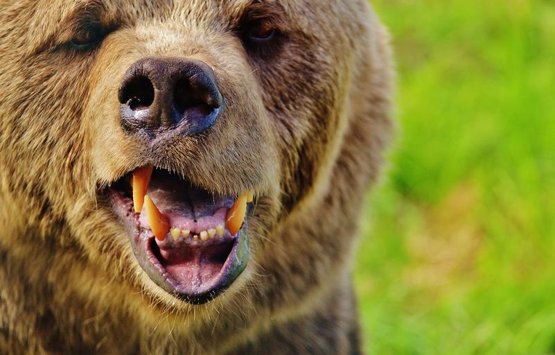 Ordonanță de urgență: Un urs va putea fi ucis în 24 de ore. Locuitorii de la munte primesc mesaje prin RO-ALERT aproape în fiecare zi. Stiri agricole