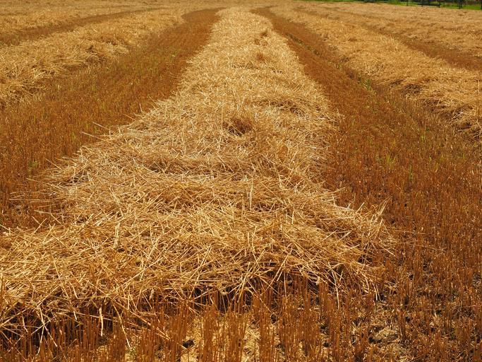 Adevărul despre noua recoltă de cereale din China. China consumă mai multe cereale decât produce singură. Creșterea prețurilor cerealelor. Stiri agricole
