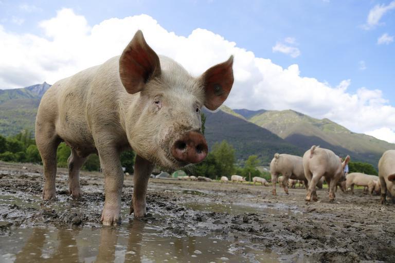 Importurile de carne sunt de patru ori şi jumătate mai mari decât exporturile. Am pierdut 30-40% din efectivele de matcă. Stiri agricole