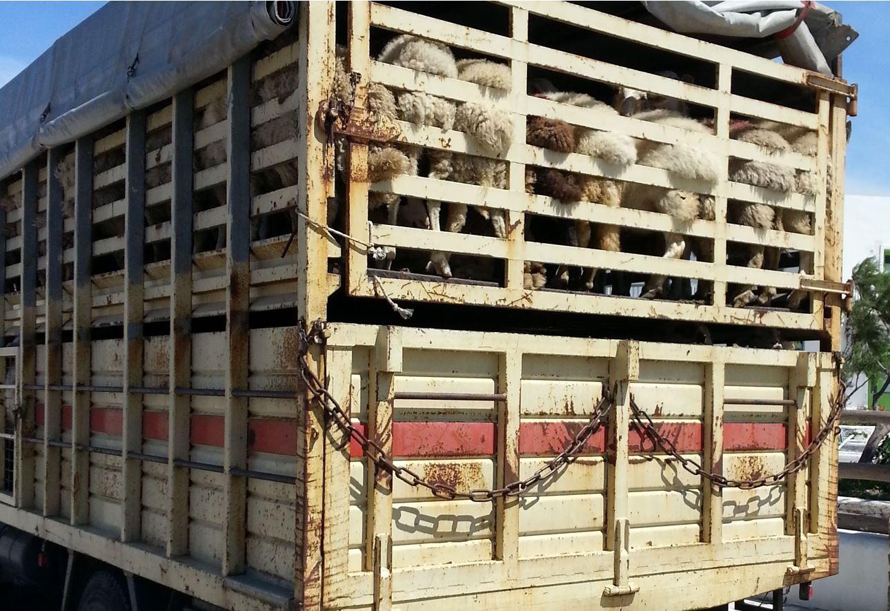 ANSVSA suspendă temporar transporturile de animale de lungă durată pe perioada caniculei. Temperaturile din mijloacele de transport între 5 – 30°C. Stiri