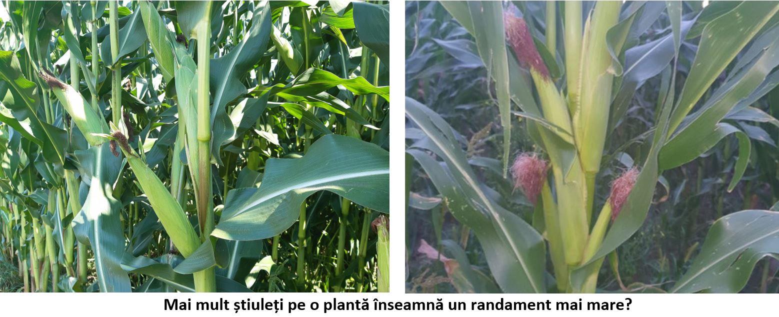 Mai mult știuleți pe o plantă înseamnă un randament mai mare? Acest lucru nu este normal, ci o anomalie în dezvoltarea porumbului. Stiri agricole
