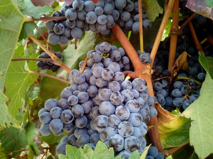 Vin scump din strugure ieftin. Un cartelul al vinului ţine preţul strugurilor la nivelul anului 2000? Preţuri între 0,80 şi 1,20 de lei/kg. Stiri agricole