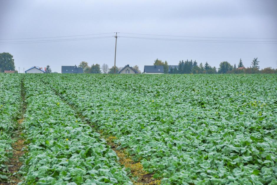 Fertilizarea cu azot a rapiței în toamnă. Cerințe nutriționale pentru rapiță. Când se recomandă să dai azot? Dezvoltarea în toamnă a rapiței. Stiri agricole