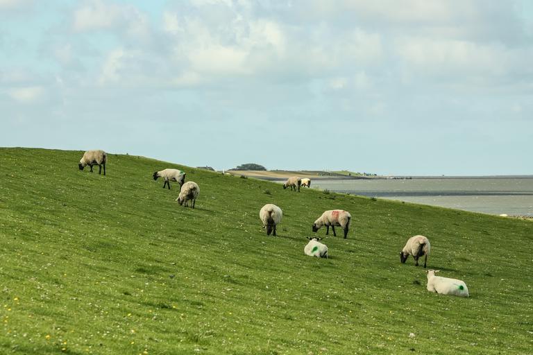 SCZ ovine / caprine din 18 octombrie 2021 - 16,55 euro/cap de animal. Plafonul este de 71,3 milioane euro pentru 4,3 milioane ovine eligible. Stiri agricole