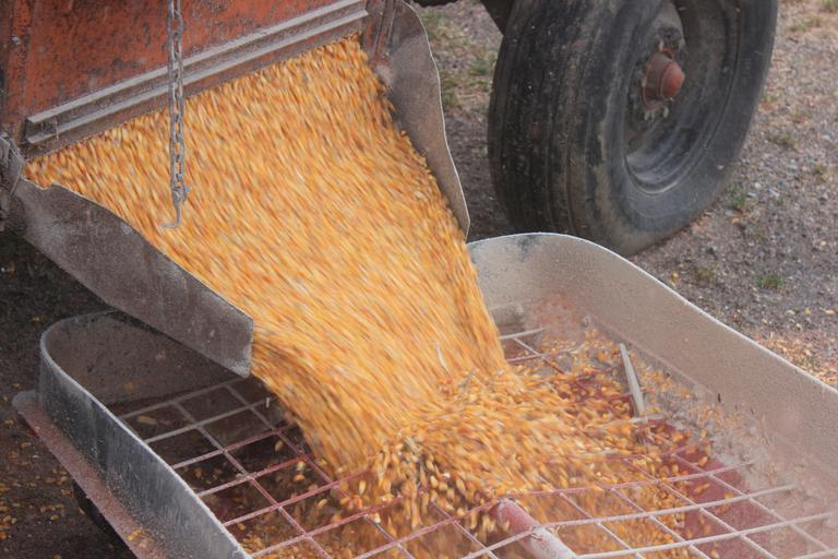 Prețul grâului crește, prețul porumbului în scădere. Grâul cu livrare în decembrie a crescut marți cu 1,1 la sută, ajungând la 271,50 EUR/t. Stiri agricole